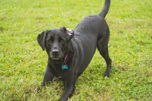 black lab dog posing for picture